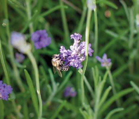 Bienean Blüte