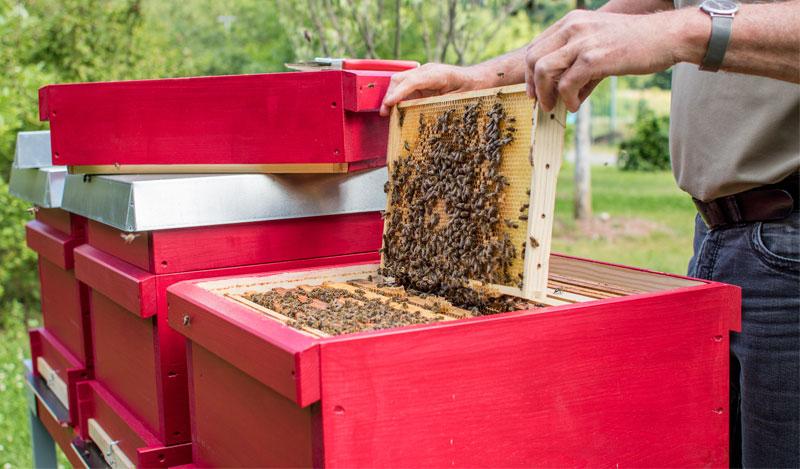 Bienenwabe-mit-Bienen